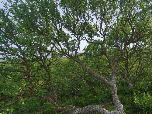 Береза низкая (Betula humilis). Еще эту березу называют «приземистая, кустарниковая». Населяет притундровые территории, на которых растет, прижимаясь к земле. И кора у нее совсем не белая, а буро-коричневая. Автор фото: Юрий Семенов