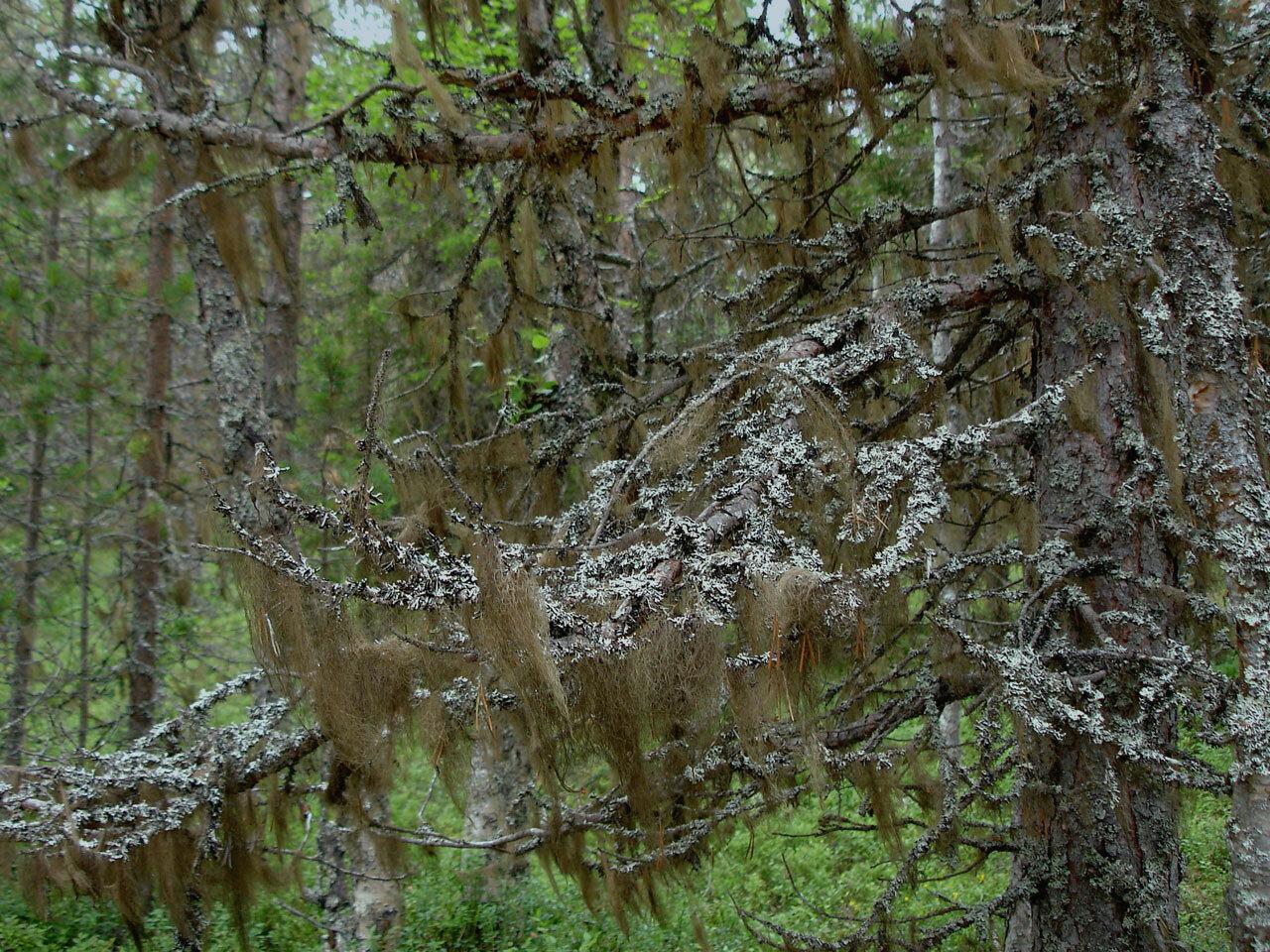 Бриория (Bryoria sp.) и Гипогимния (Hypogymnia sp.). Автор фото: Юрий Семенов