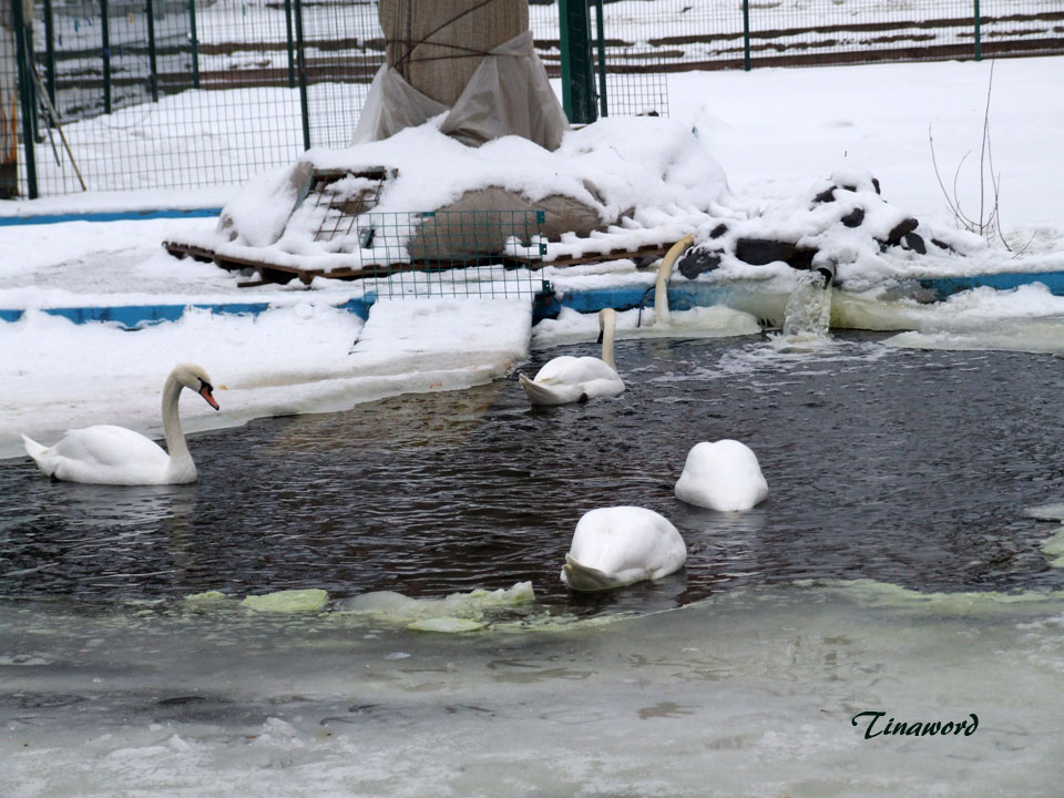 лебеди-2.jpg