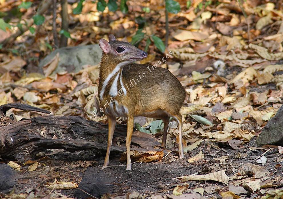 лес олени самый маленький тропики