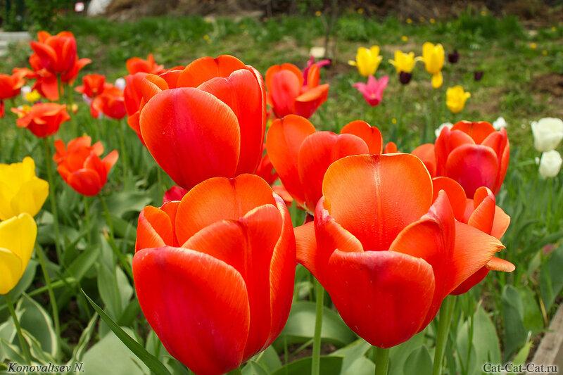 Тюльпаны Ботанического сада МГУ.