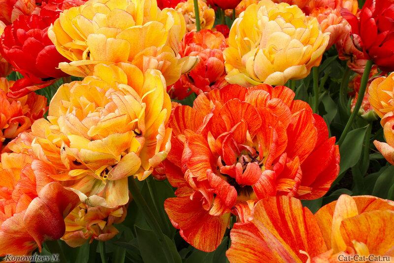 тюльпан Gudosbnik Double