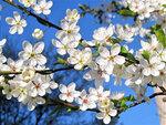 Сезон цветенья открывает алыча...7