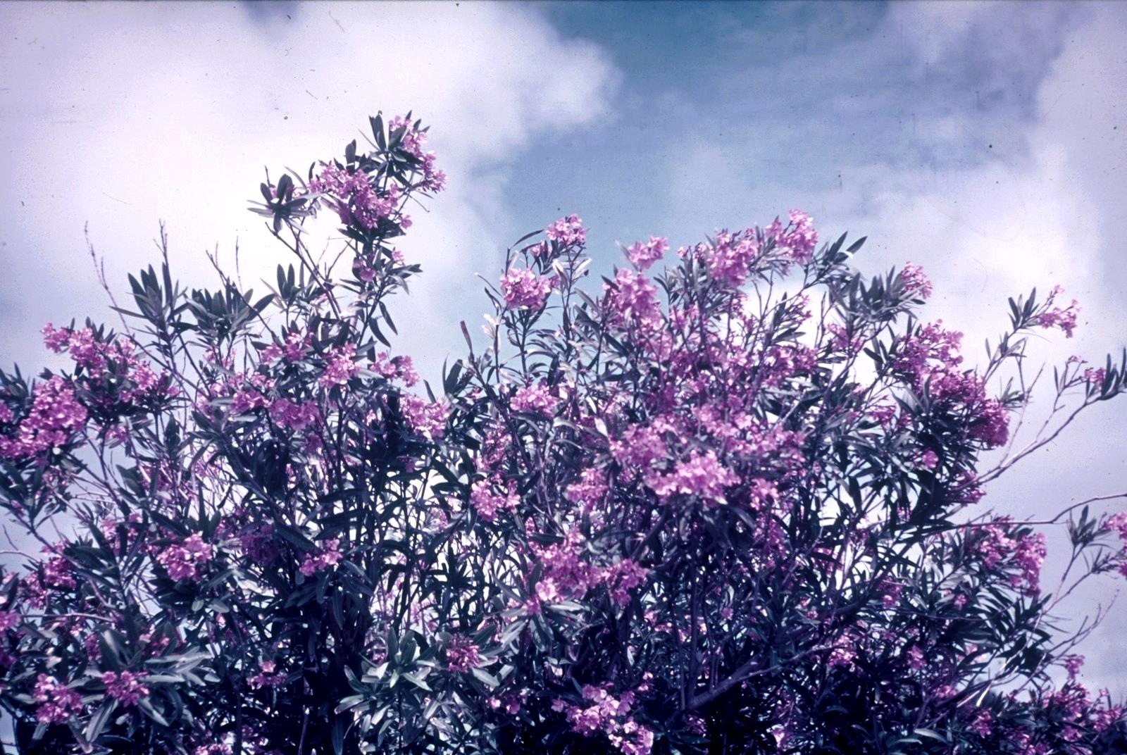 Бермудские острова. Гамильтон. Цветущий олеандр