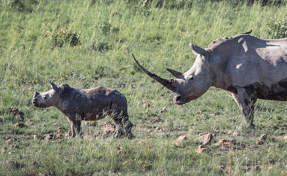 Самка носорога разогнала стадо слонов, которое подошло слишком близко к ее малышу самка, слоны, носорога, Свидетелем, связываться, малыша, Несмотря, весит, взрослая, африканского, слона, может, весить, почти, решили, сумасшедшей, почувствовав, мамашей, полутораметровым, рогом