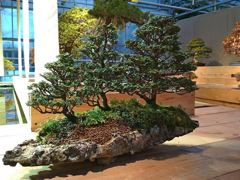 Кипарисовик притупленный (Chamaecyparis obtusa), возарст деревьев в группе от 15 до 25 лет - Выставка бонсай в Аптекарском огороде